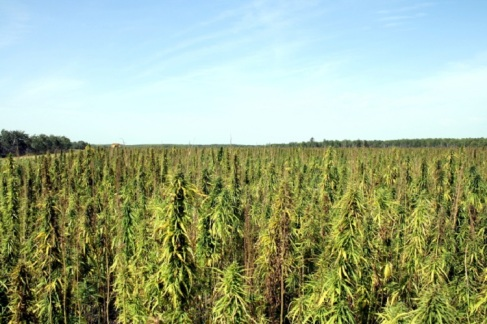 Hemp field in Manitoba