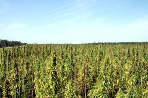 Hemp field in Manitoba