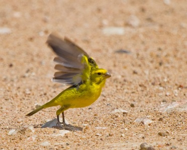 yellow-canary-beach