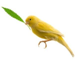 canary_with_hemp_leaf