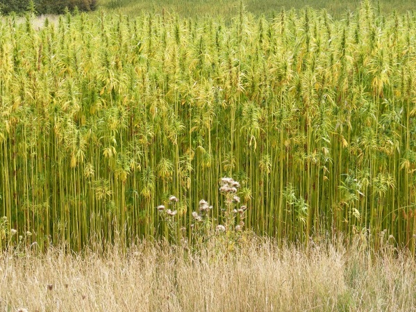 hemp_crop_in_peasenhall_road_walpole_-_geograph-org-uk