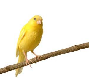 canary branch