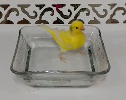 canary bath