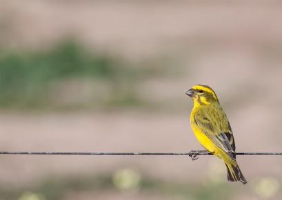 Yellow-Canary